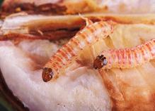 गुलाबी सुंडी (Pink Bollworm) या इल्ली